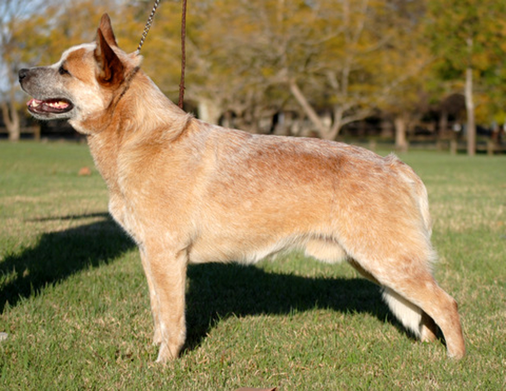 Aust Ch Heelersridge Wild Colonial Boy TDX ET