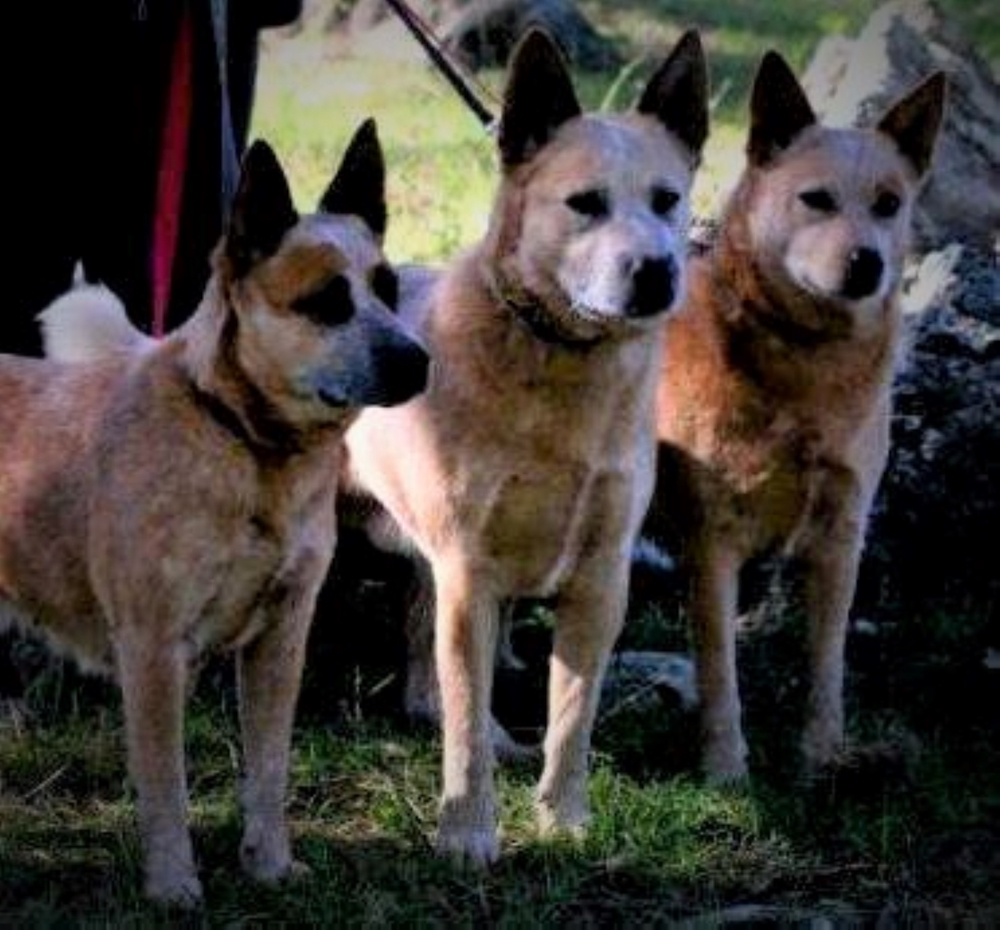 Heelersridge Riverina HIT TD - Aust Ch Heelersridge Hobart HIT TD - Aminya Molly Mudlark TD